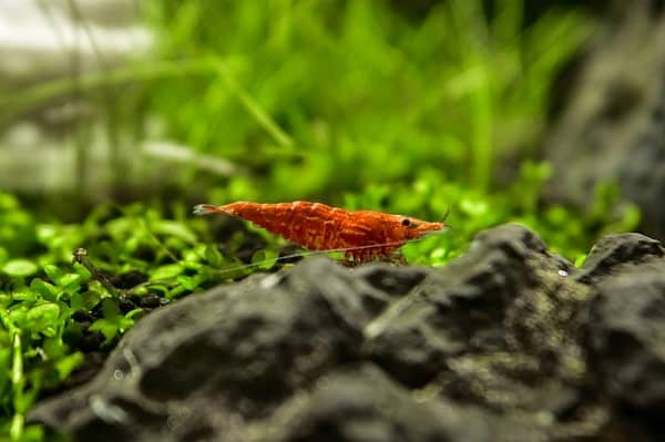 Cherry Shrimp care guide