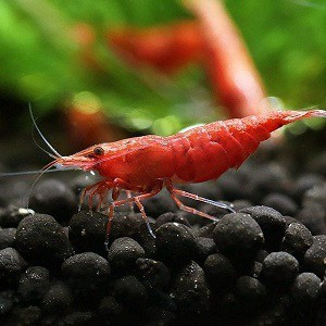 Red Fire Cherry Shrimp