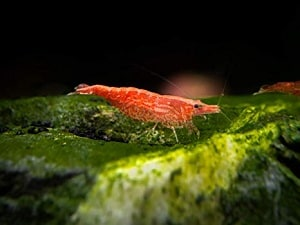 higher grade sakura shrimp