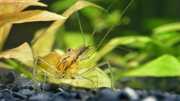 when should you feed your cherry shrimp