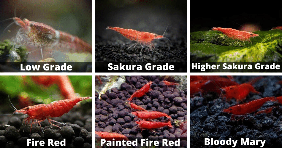 Cherry Shrimp Grade Chart