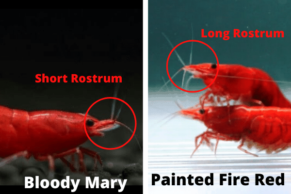 Differences Between Bloody Mary & Painted Fire Red Grades