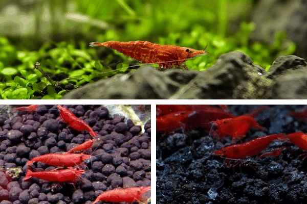 Red Cherry Shrimp Grades Explained