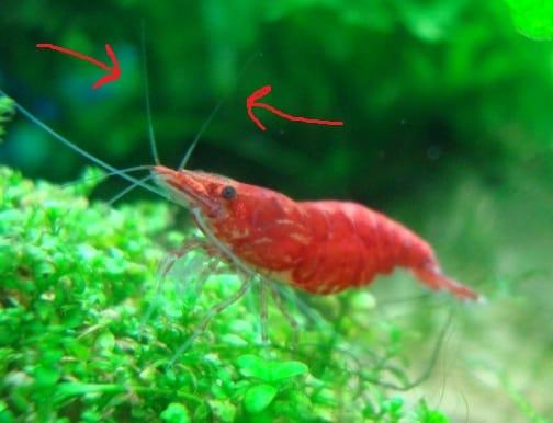 antenna male vs female cherry shrimp