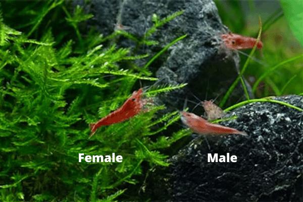 color of male vs female cherry shrimp