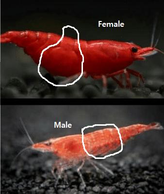 second scale male vs female cherry shrimp