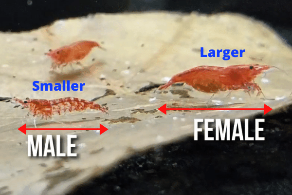 size of male vs female cherry shrimp