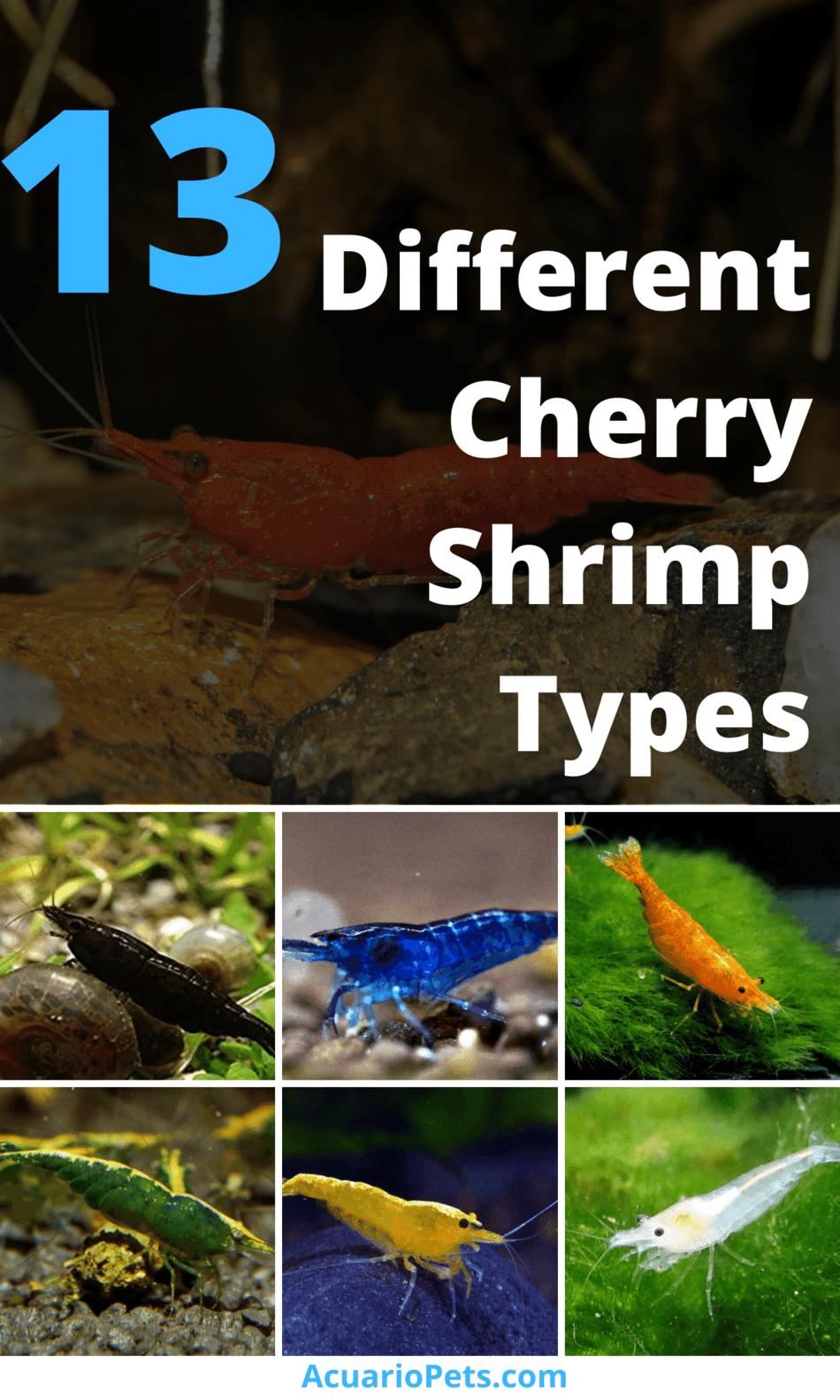 13 Different Cherry Shrimp Types