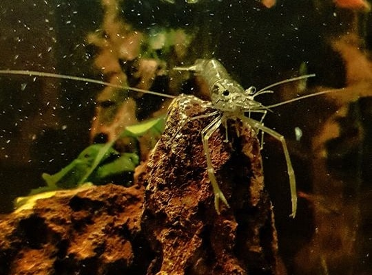 do ghost shrimps kill each other