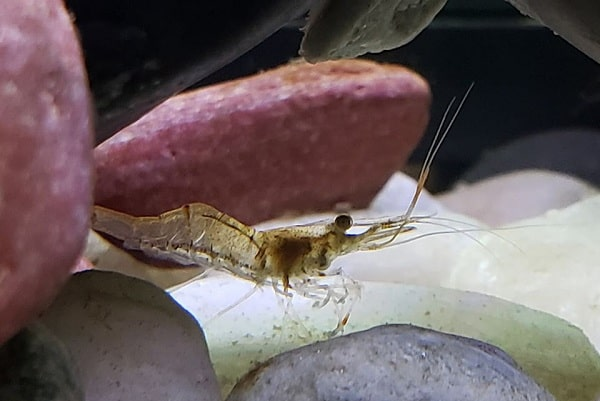 why ghost shrimps jump out of the tank