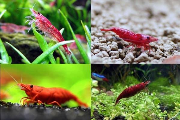 cherry shrimp selective breeding