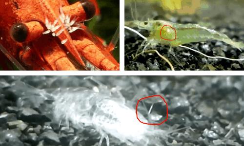 scutariella japonica