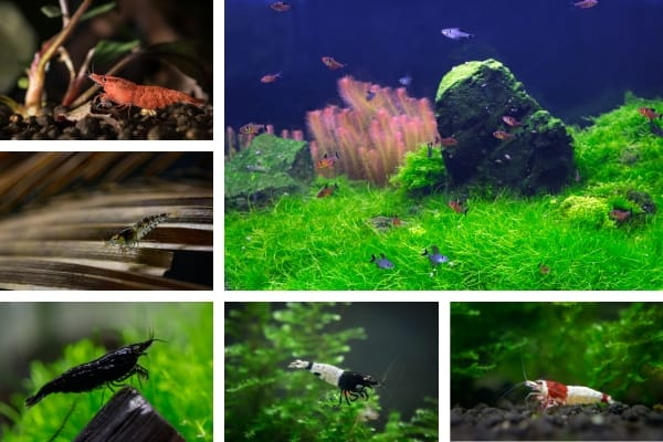 Do Shrimps Eat Algae