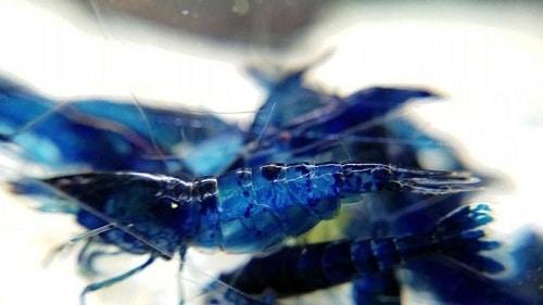 blue dream shrimp