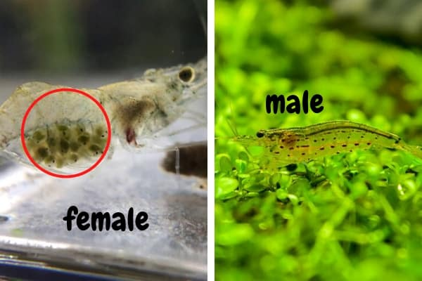 How To Determine Ghost Shrimp Gender