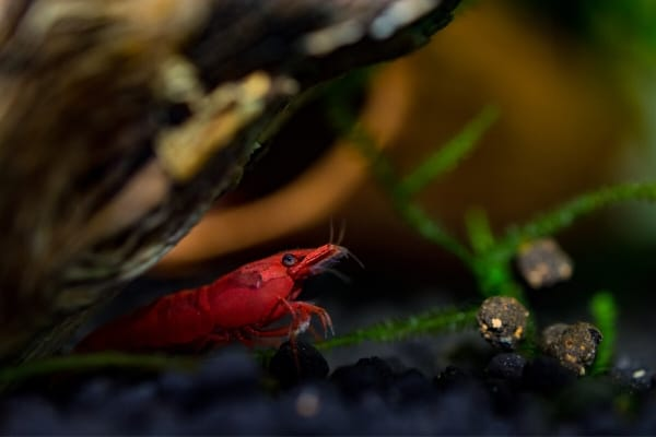 Signs Of Stress In Shrimps