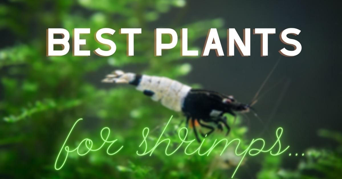 Best Plants For Shrimp Tank