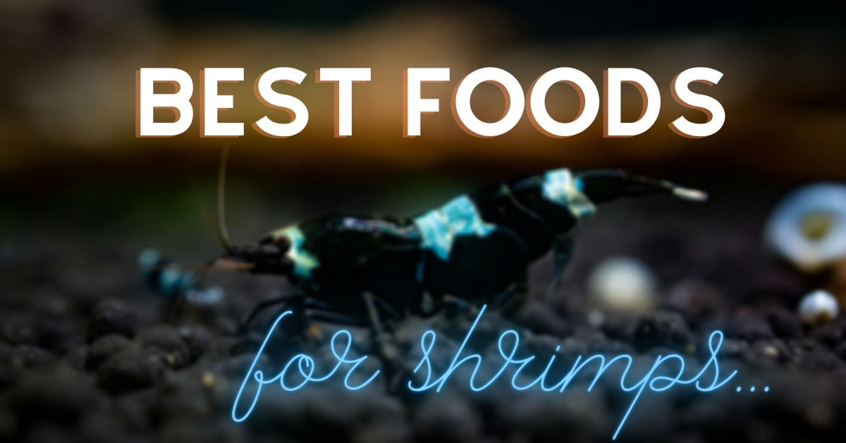Best Shrimp Foods For Proper Growth & Breeding