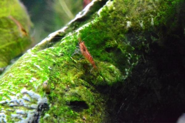 Do Ghost Shrimps Eat Plant & Algae