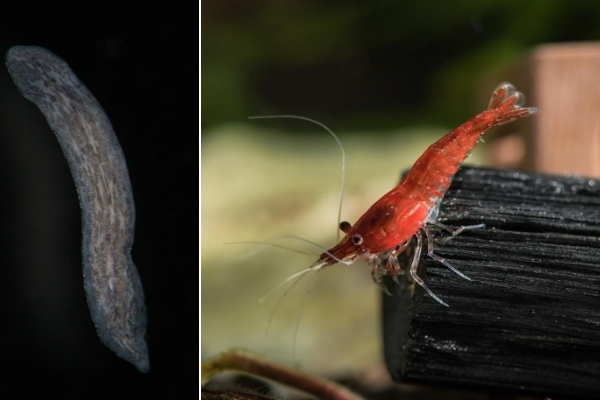 How To Get Rid Of Planaria In Shrimp Tank
