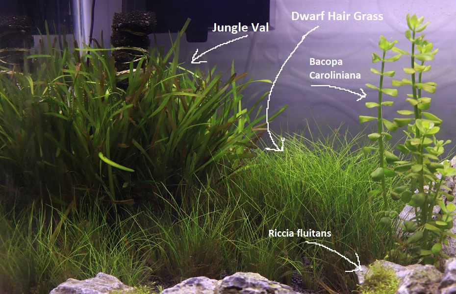 shrimp tank plants