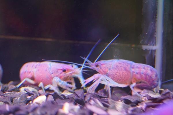 Baby Crayfish Care