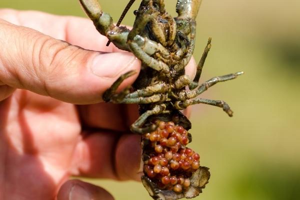 Crayfish Egg Care