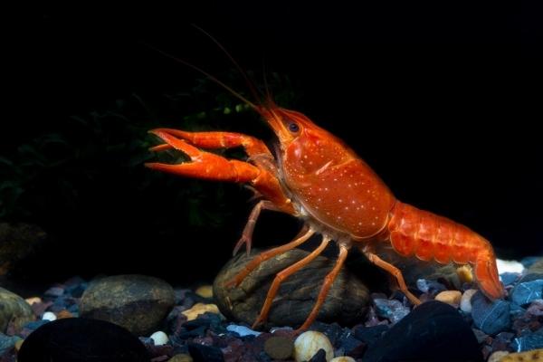 How Big Do Crayfish Get