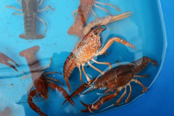 How Big Should A Crayfish Tank Be