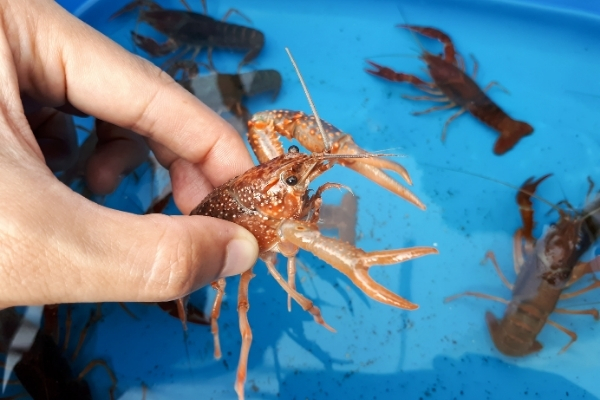 How Long Can Crayfish Live Out Of Water