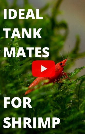 What Are The Ideal Tank Mates For Cherry Shrimps?