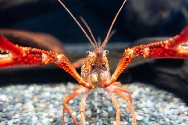 What Do Crayfish Eat