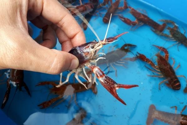 Why Do Crayfish Flip Over