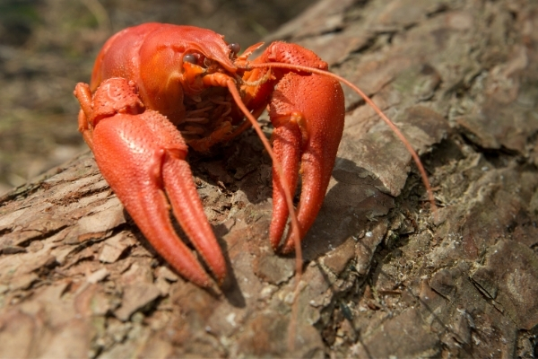 Why Is My Crayfish Not Moving