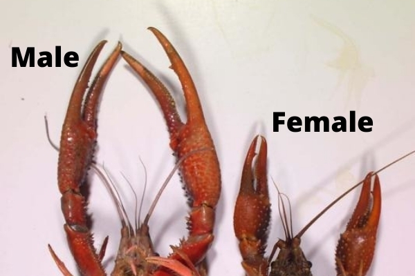 identifying crayfish gender claw