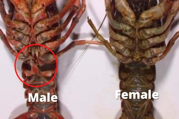identifying crayfish gender gonopod