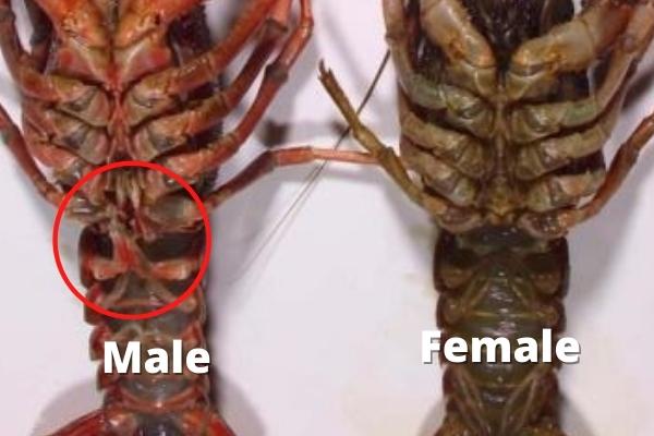 identifying crayfish gender gonopod