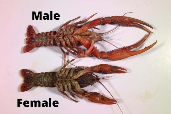 identifying crayfish gender size