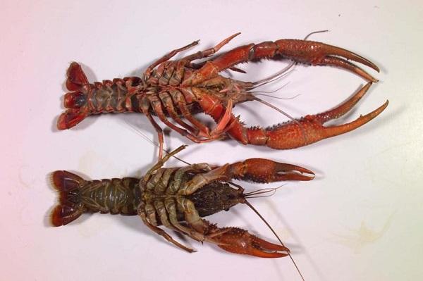 male vs female crayfish