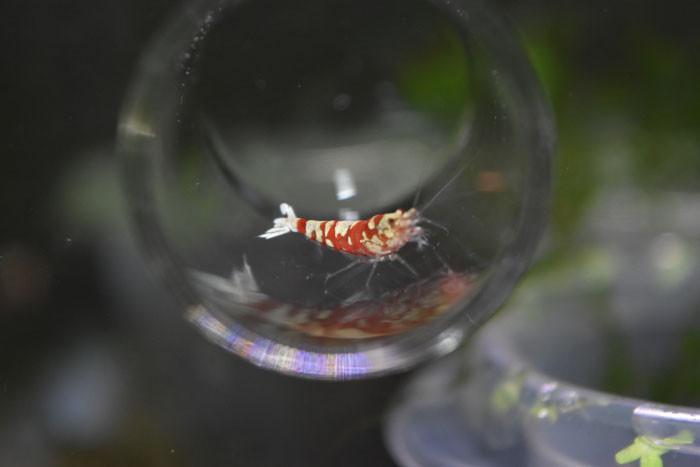 red fancy tiger shrimp