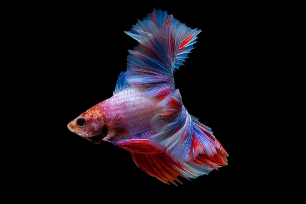 Can Betta Fish See Their Food In The Dark