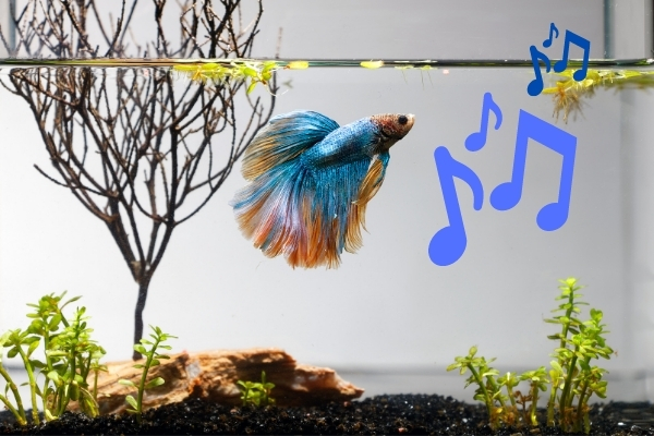 Do Betta Fish Like Music