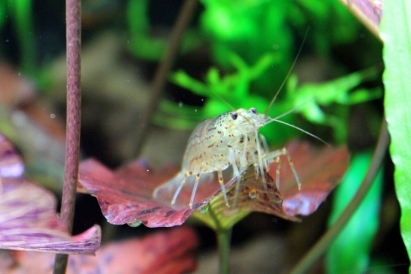 How Long Do Amano Shrimps Live