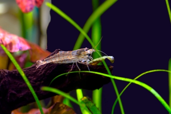 How Often To Feed Your Amano Shrimps