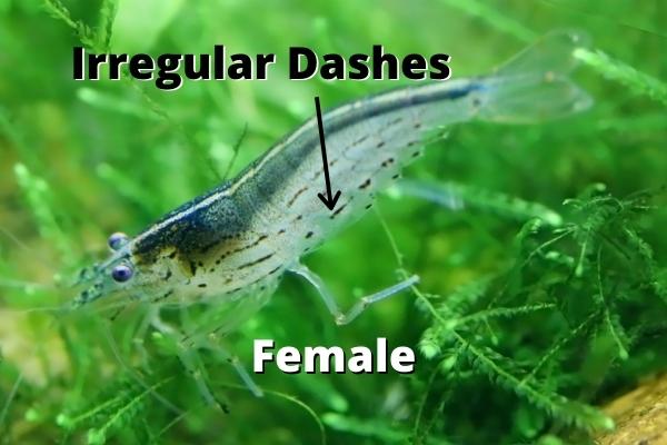 female amano shrimp dots