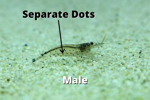 male amano shrimp dots