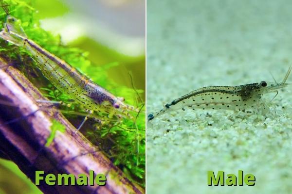 male vs female amano shrimp size