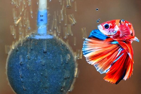 Do Betta Fish Need Air Pump