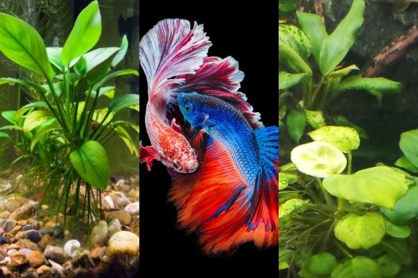 Do Betta Fish Need Live Plants