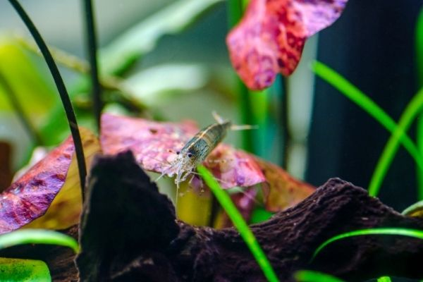 What Is The Ideal Temperature For Amano Shrimps